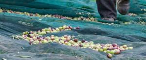 uomo-su-olive