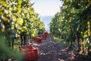 Vendemmia Bellavista 2017, Pinot Nero e Chardonnay